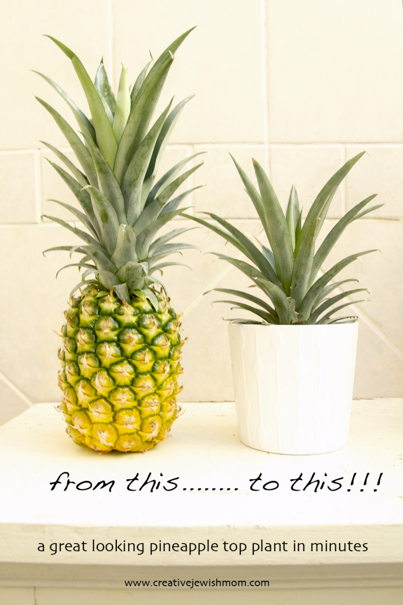 Pineapple Top Plant
