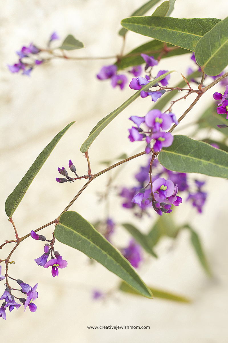 Hardenbergia Vine In Bloom 2018