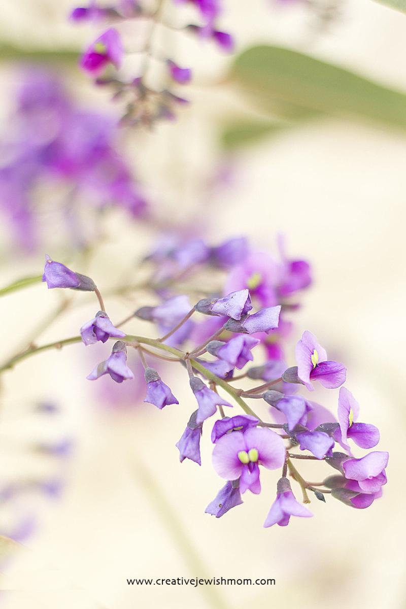 Hardenbergia Vine Flowers 2018