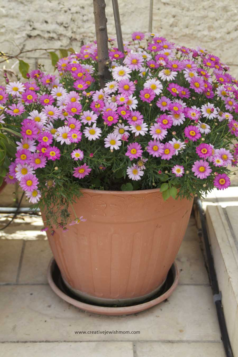 Pink Daisies Fill Pot In Container Garden
