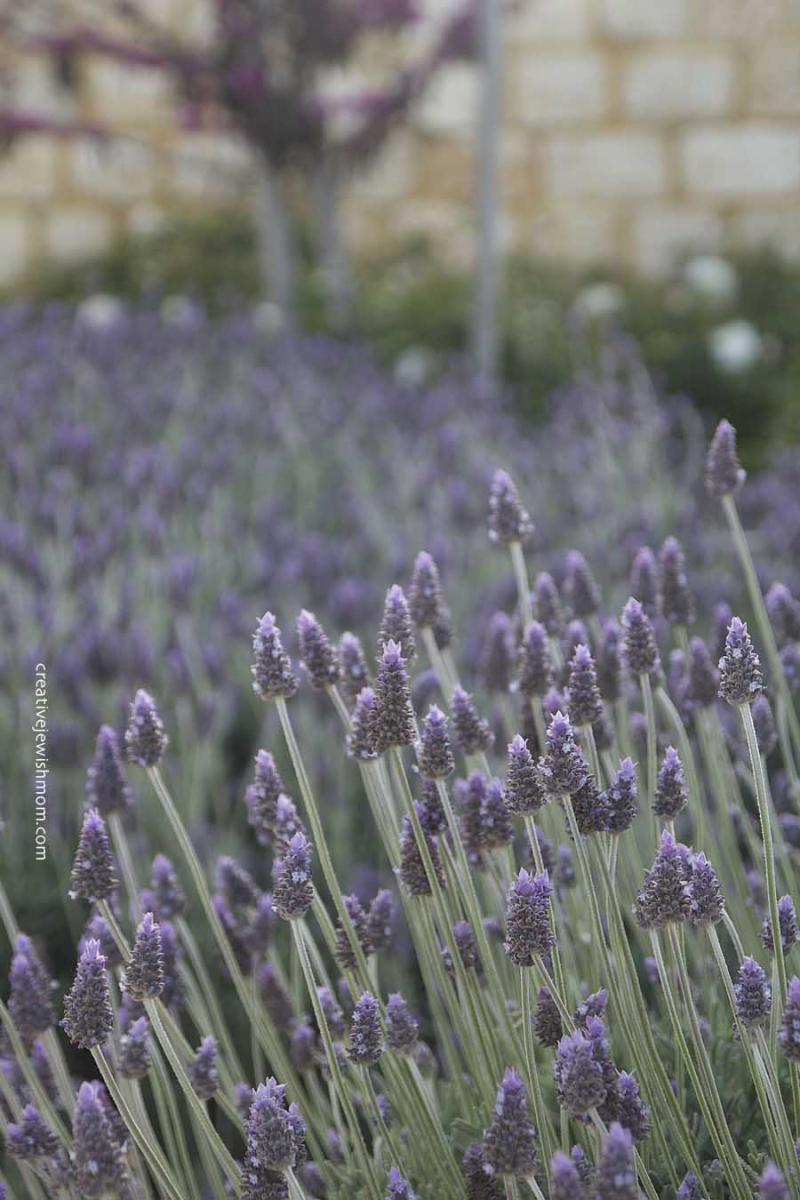Wisteria In stone garden Israel