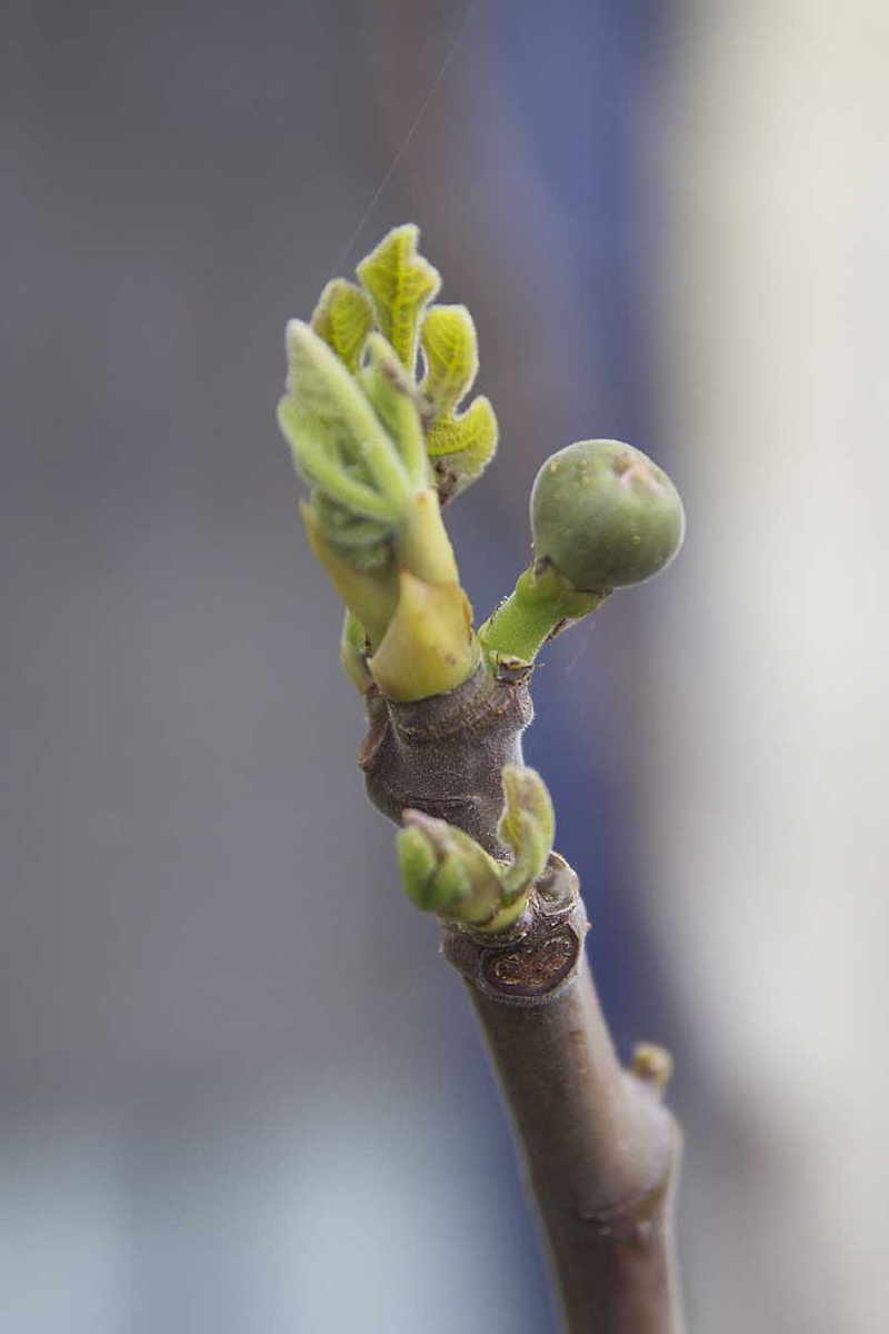 Fig Tree Buds and Fruit Israel