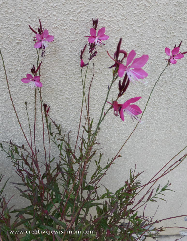 Fall container garden gaura lindheimeri in bloom