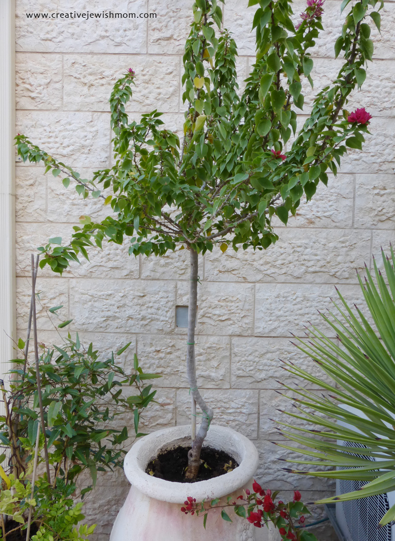 Fall container garden dwarf bougainvillea tree
