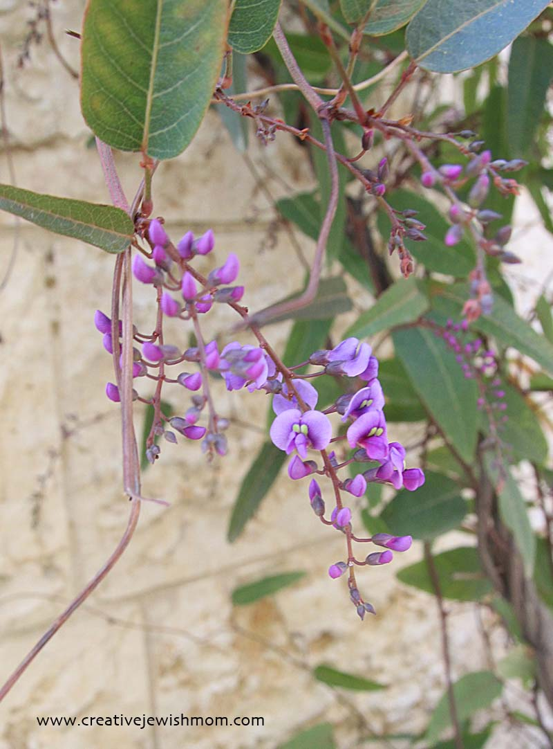 Hardenbergia in bloom