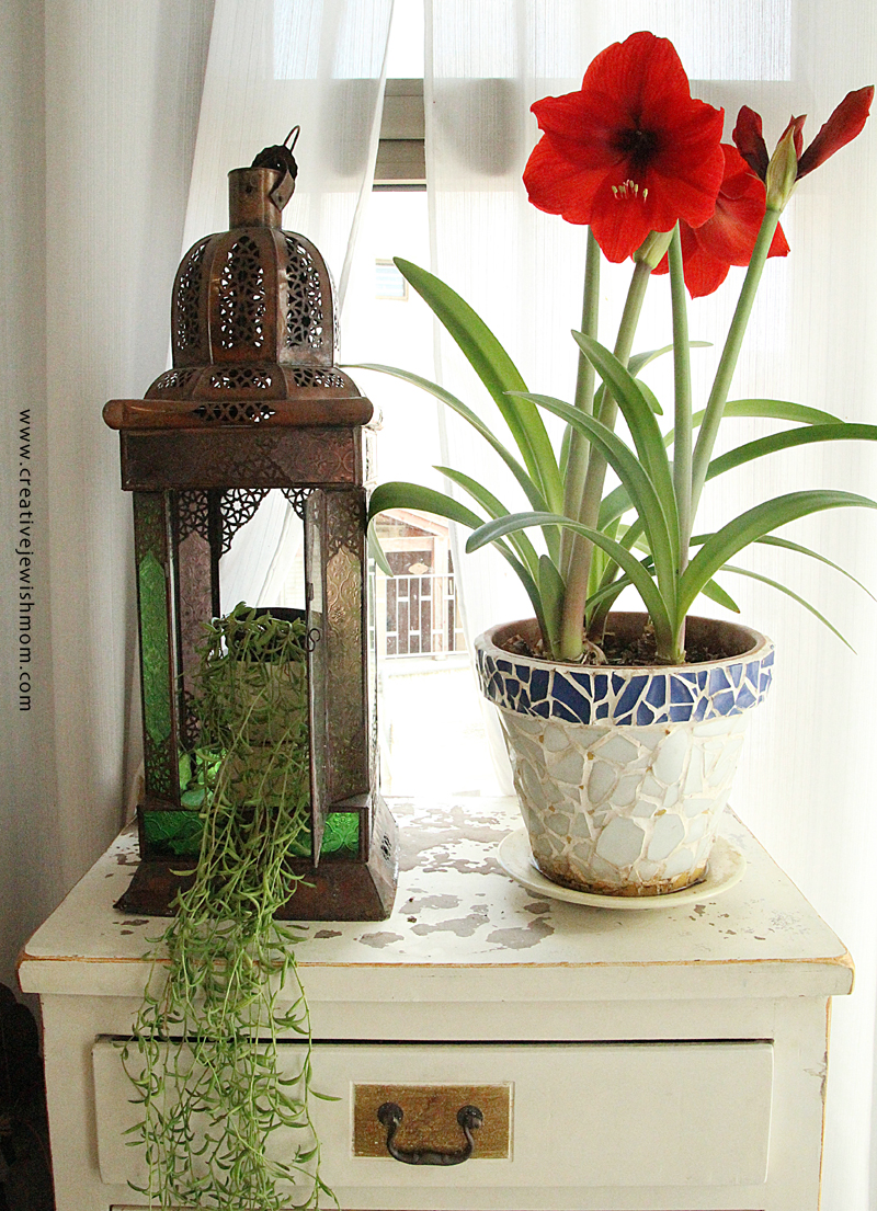 Amaryllis potted in bloom with succulent