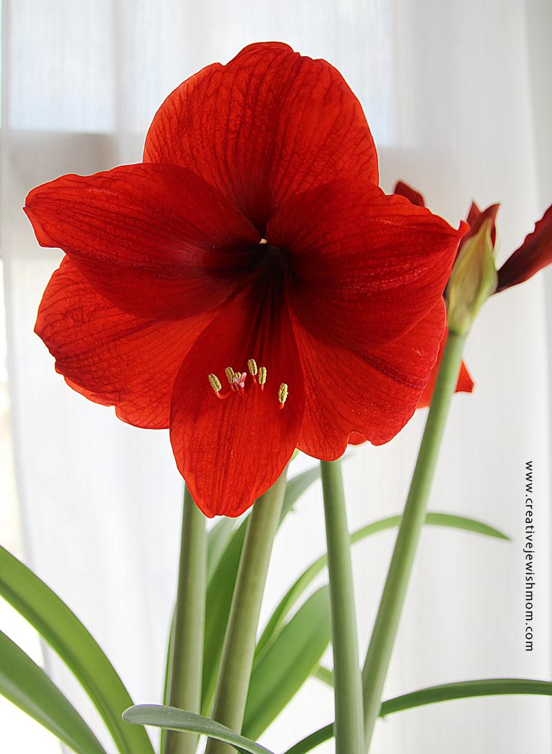 Amaryllis in bloom close up