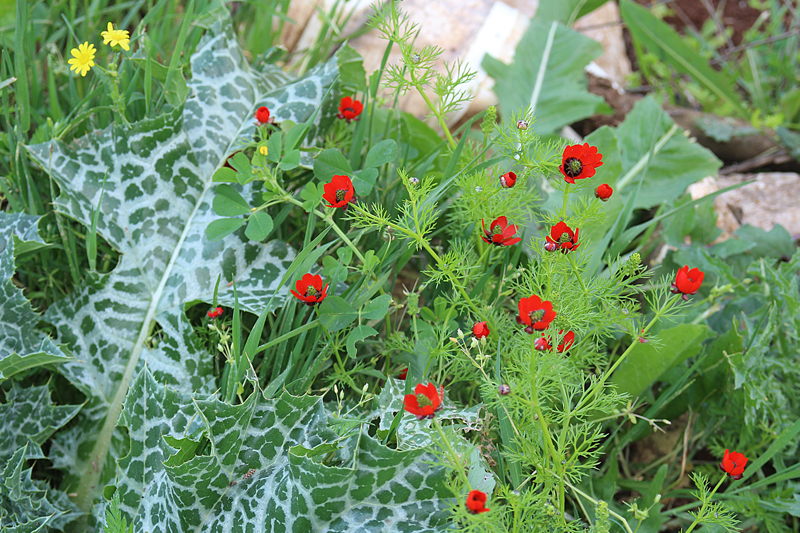 Israel Wildflowers spring 2015 small red poppies