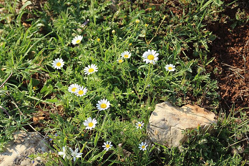 Israel Wildflowers daisies spring 2015