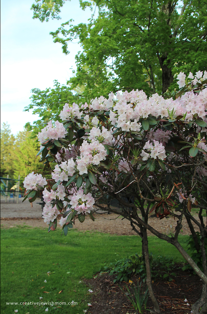 Blooming Bushes In Connecticut White Rhododendrun