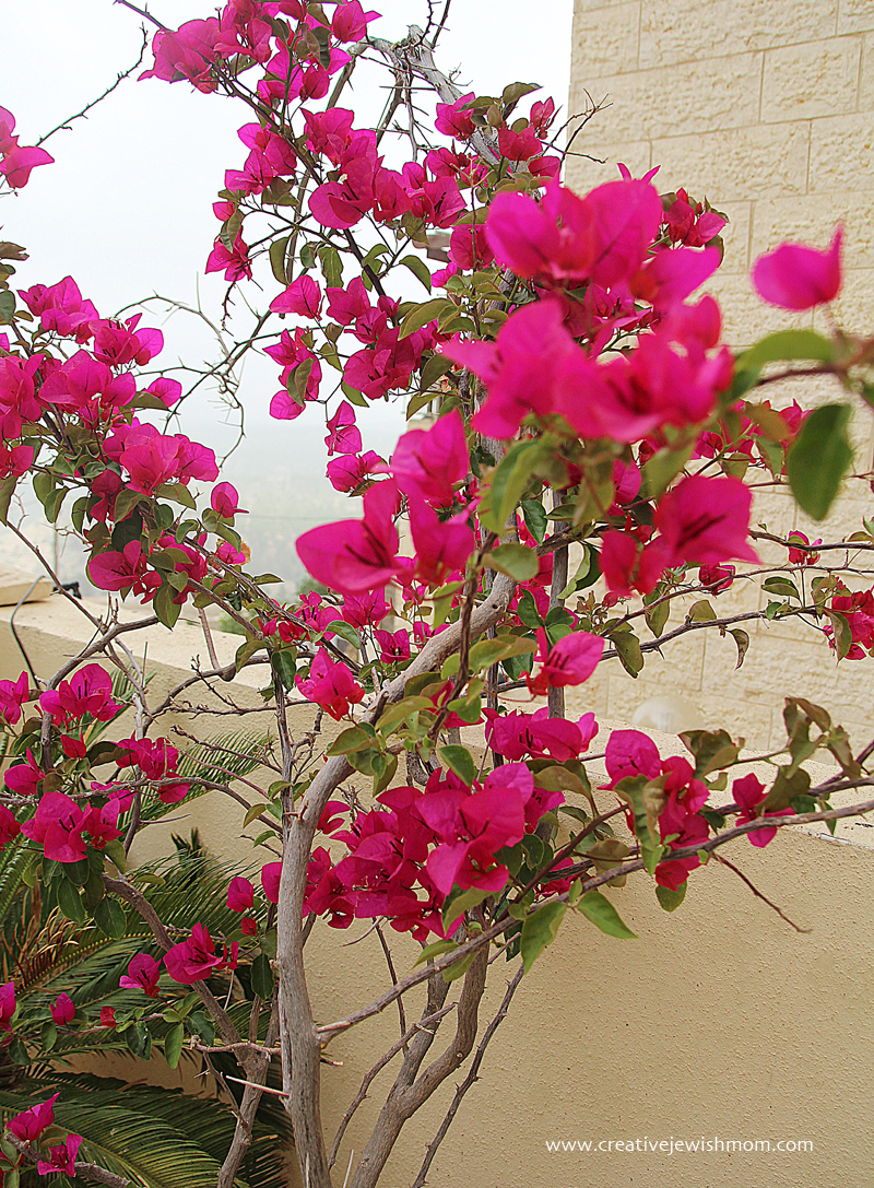 In bloom 2015 bougainvillea