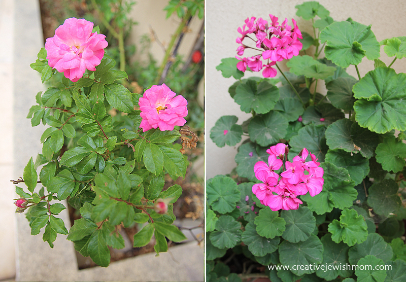 In Bloom 2015 geraniums