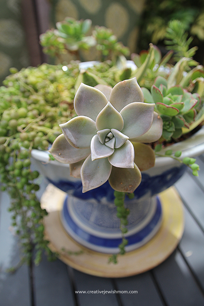 In bloom 2015 succulent