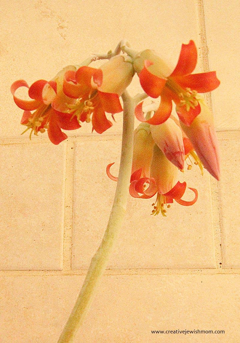 Blooms of succulent, orange bells