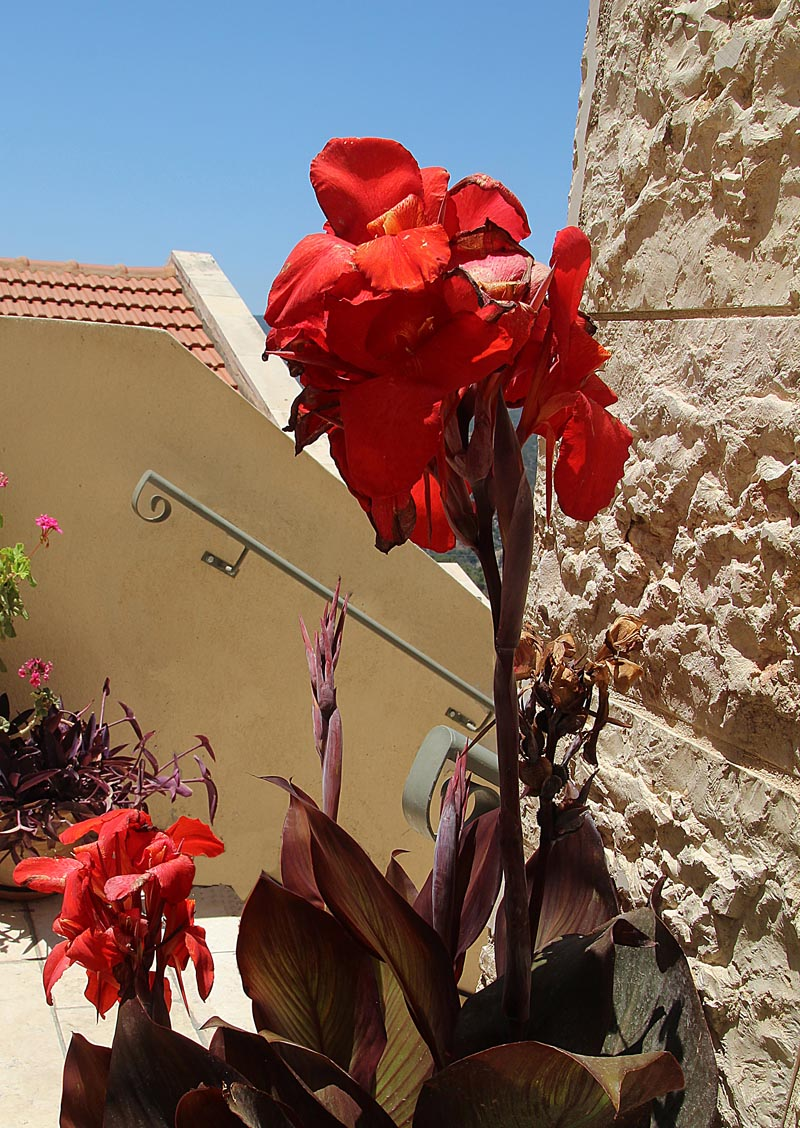 Blooms red canna in bloom