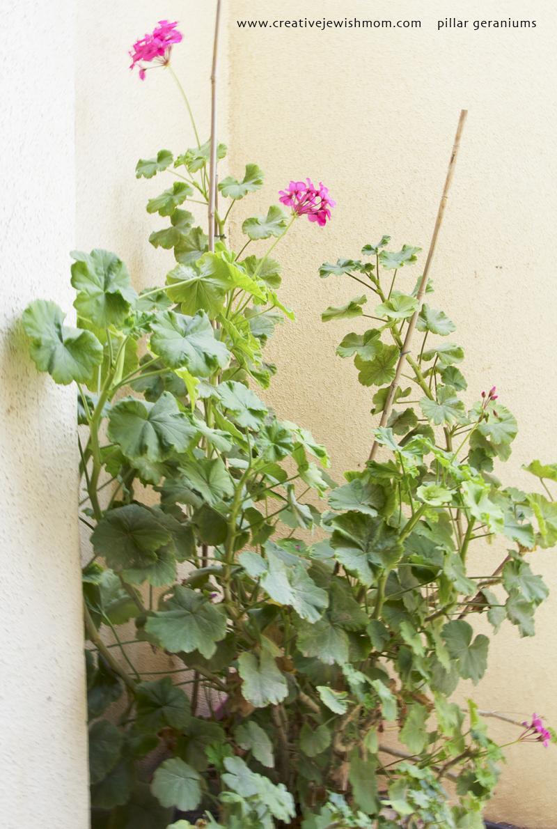 Pillar Geraniums 3 feet tall