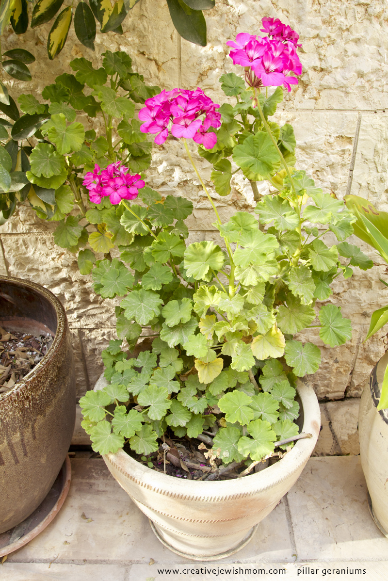 Pillar Geraniums Pink From Cuttings