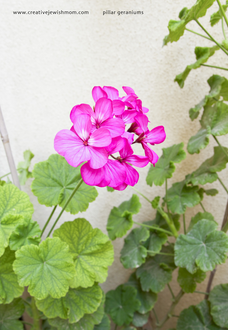 Pillar Geranium Bright Pink From Cuttings