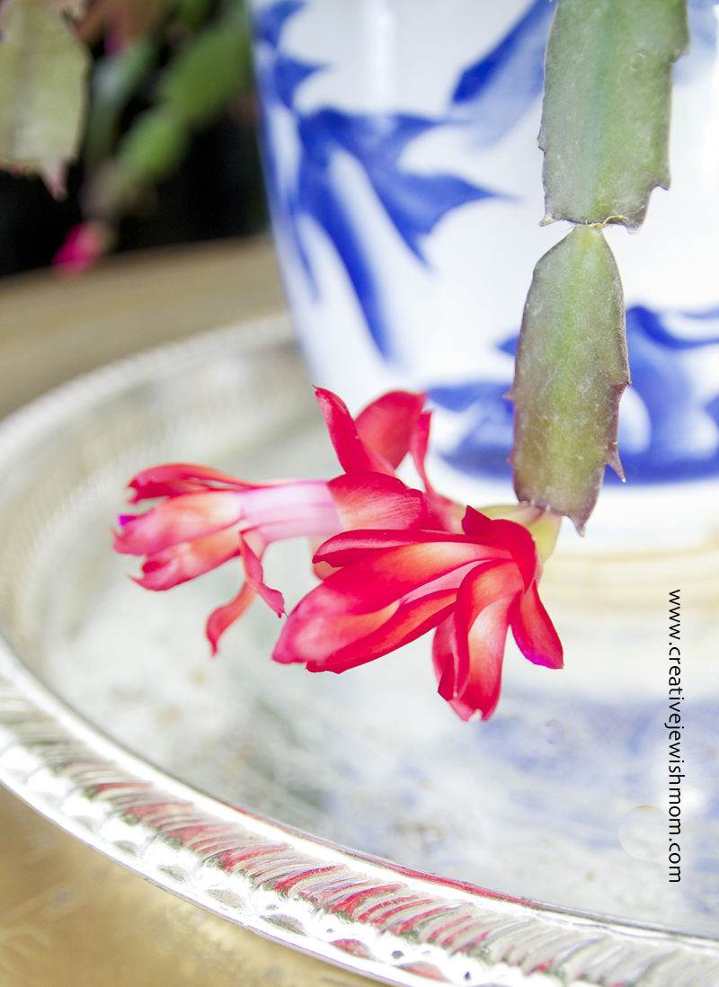 Xmas cactus first bloom