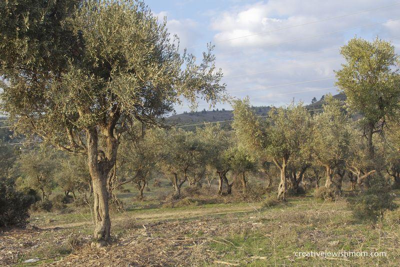 Safed Hike Olive Tree Grove Above Nachal Amud