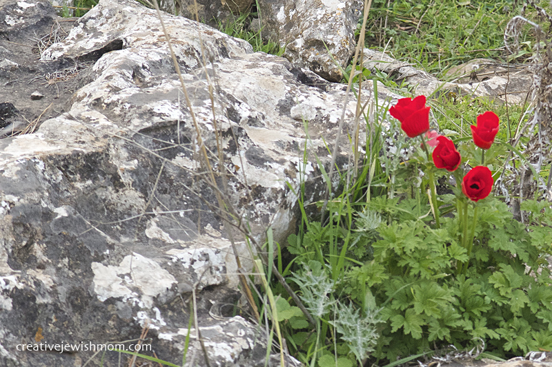 Red Poppies Wild Northern Israel 2016