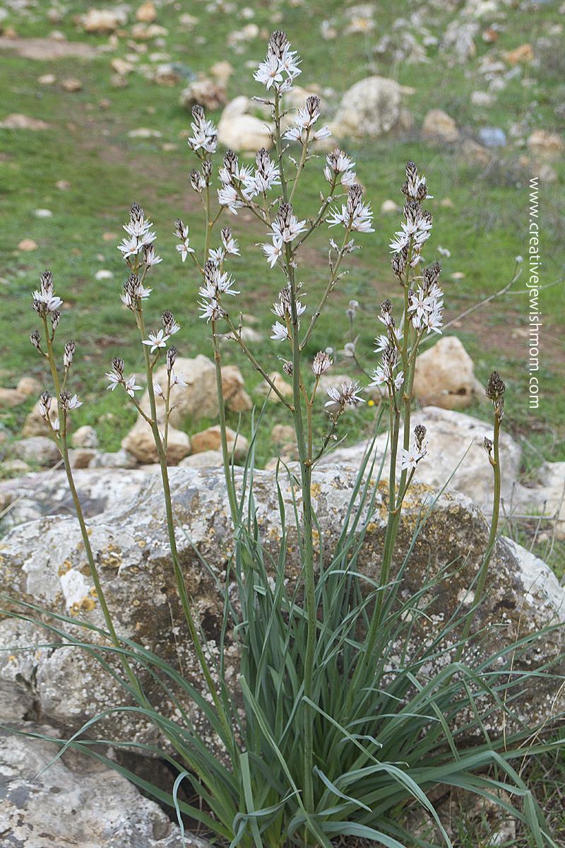 Israeli Wild Flower Near Wadi