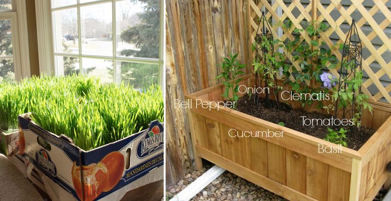 How to grow wheat grass,DIY cedar planter