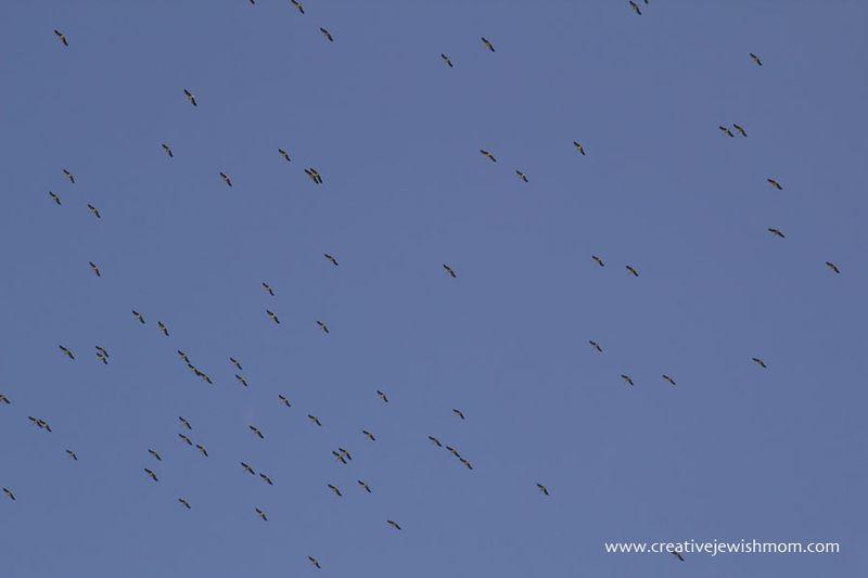 Stork Migration Northern Israel 2016