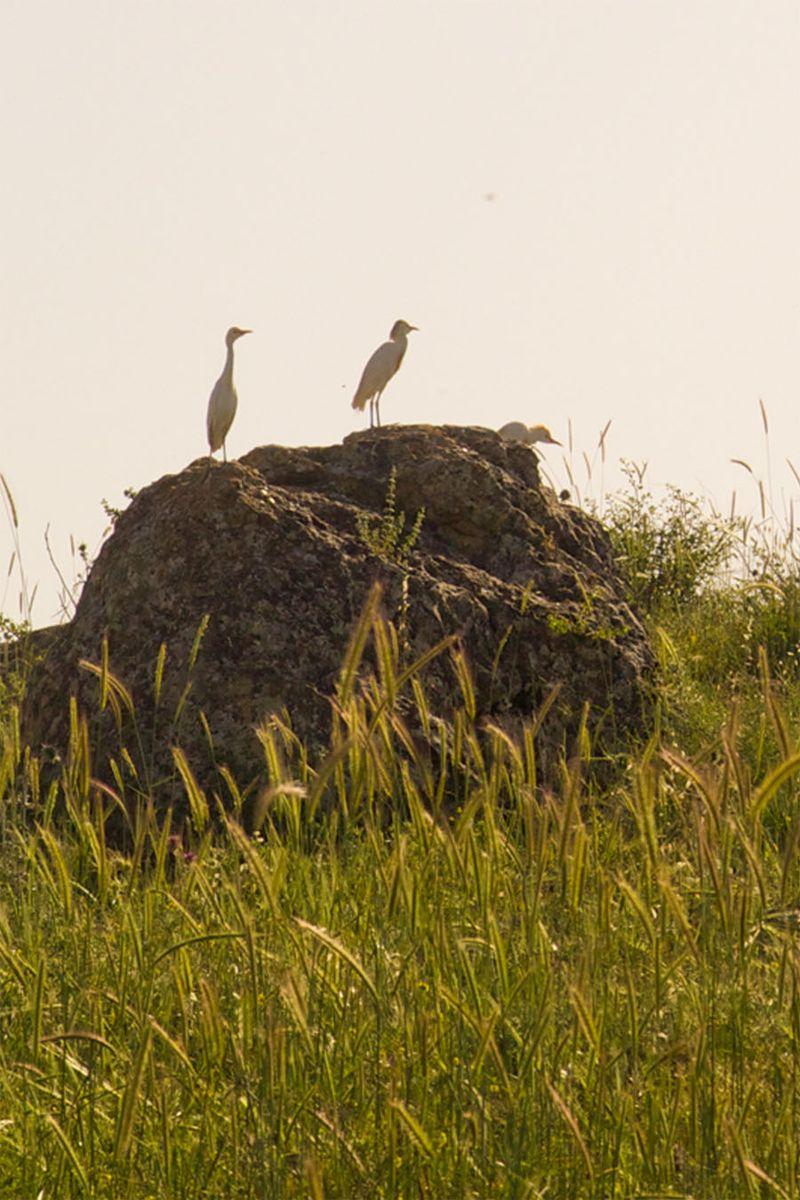 Migrating Egret in Northern Israel