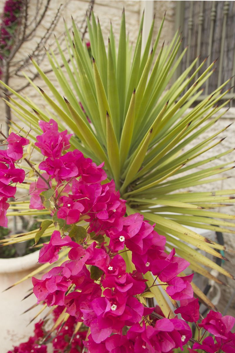 Container Garden Spring 2016 Sword Yucca With Bougainvillea