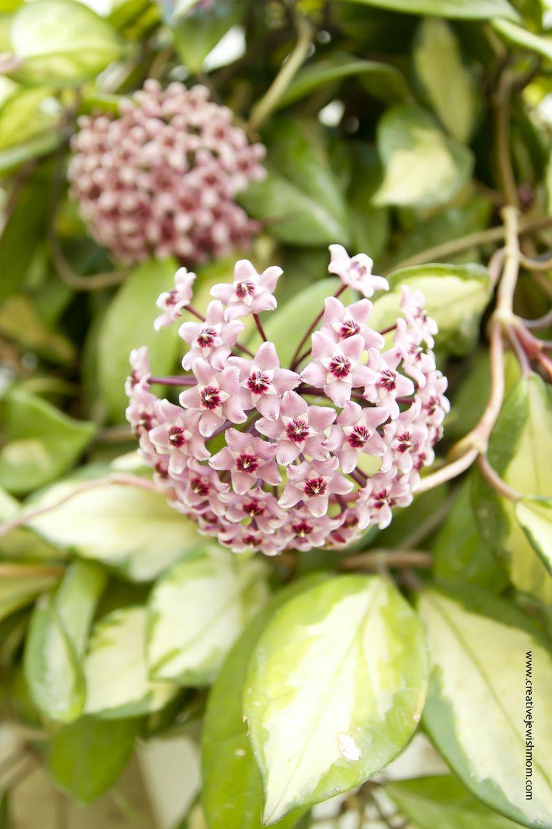 Hoya Bloom cluster