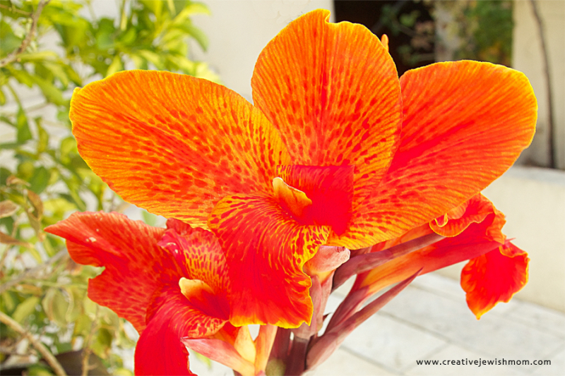Red Canna In Bloom Close Up 2016