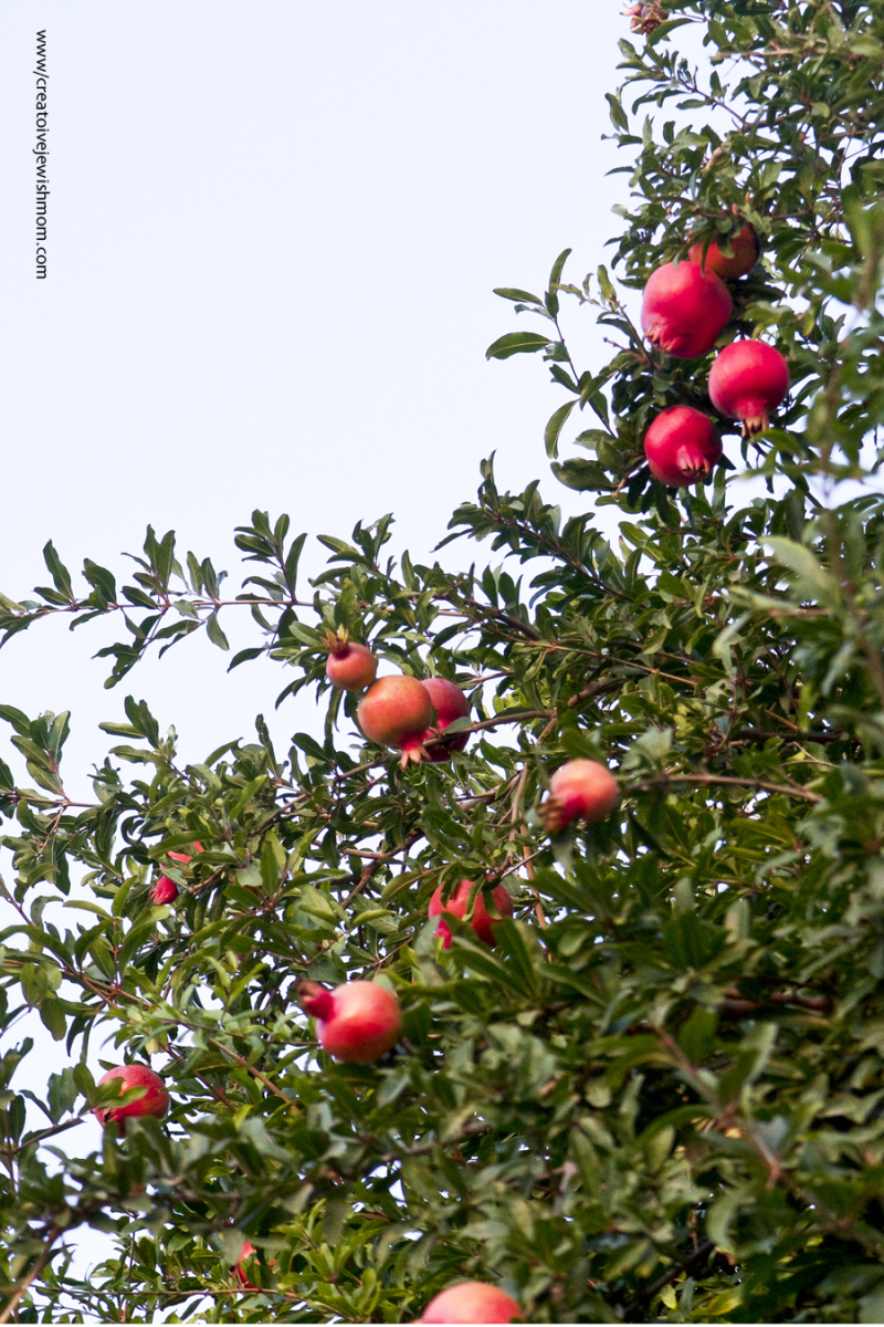 Pomegranites Ripening At Dusk