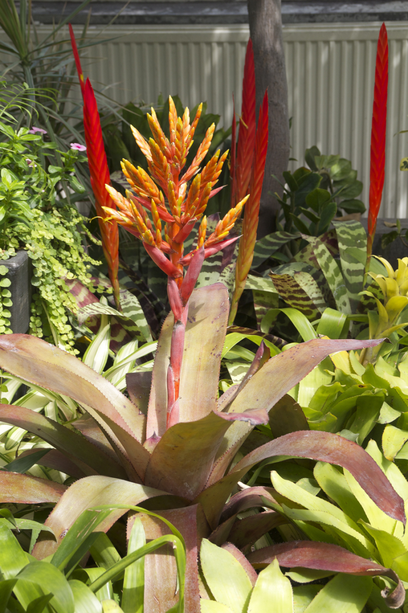 Allan Gardens giant bromeliad