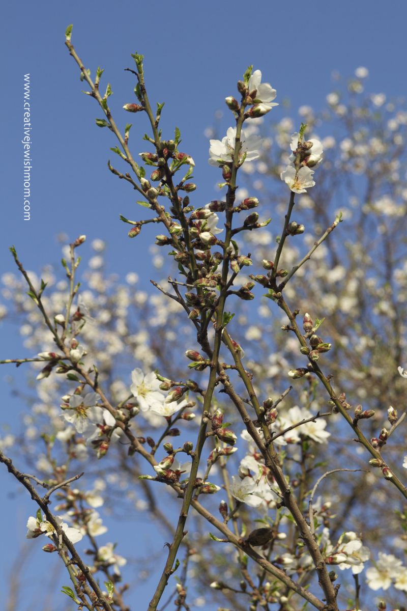 Almond Blossoms with blue sky in Israel