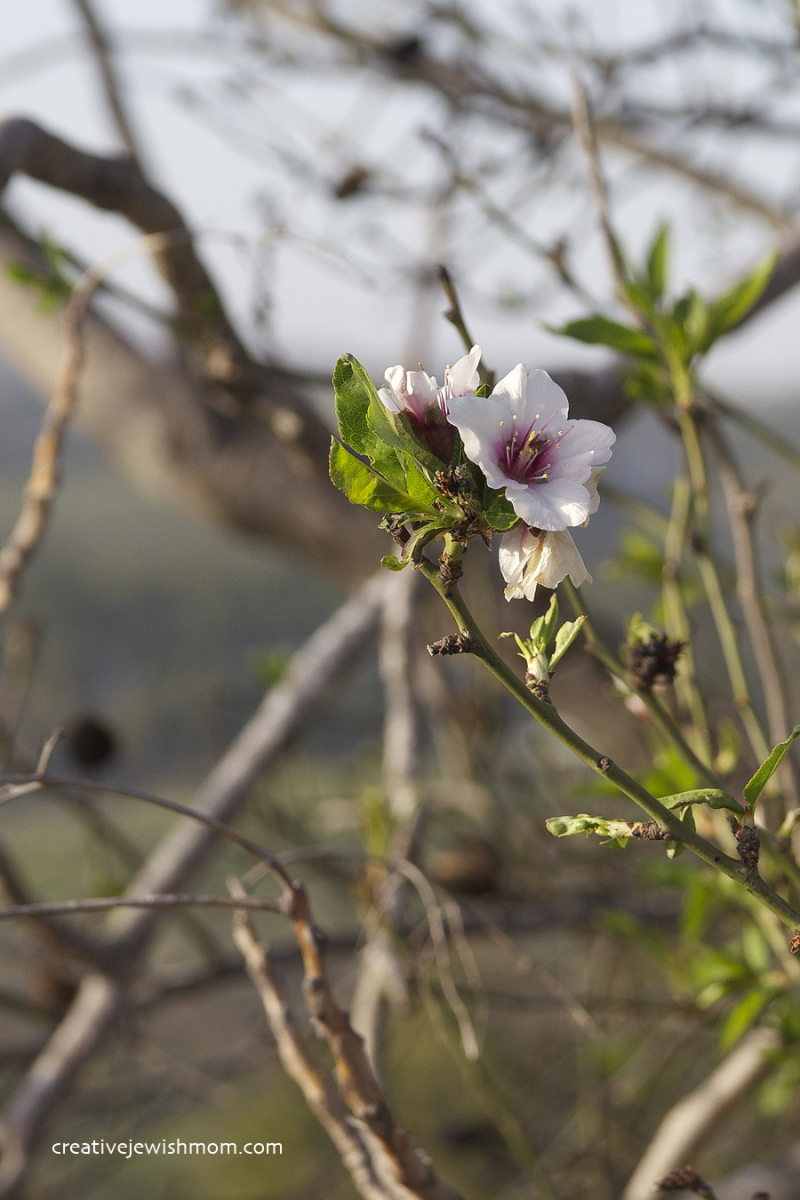 Almond Blossoms In Israel On Bare Tree