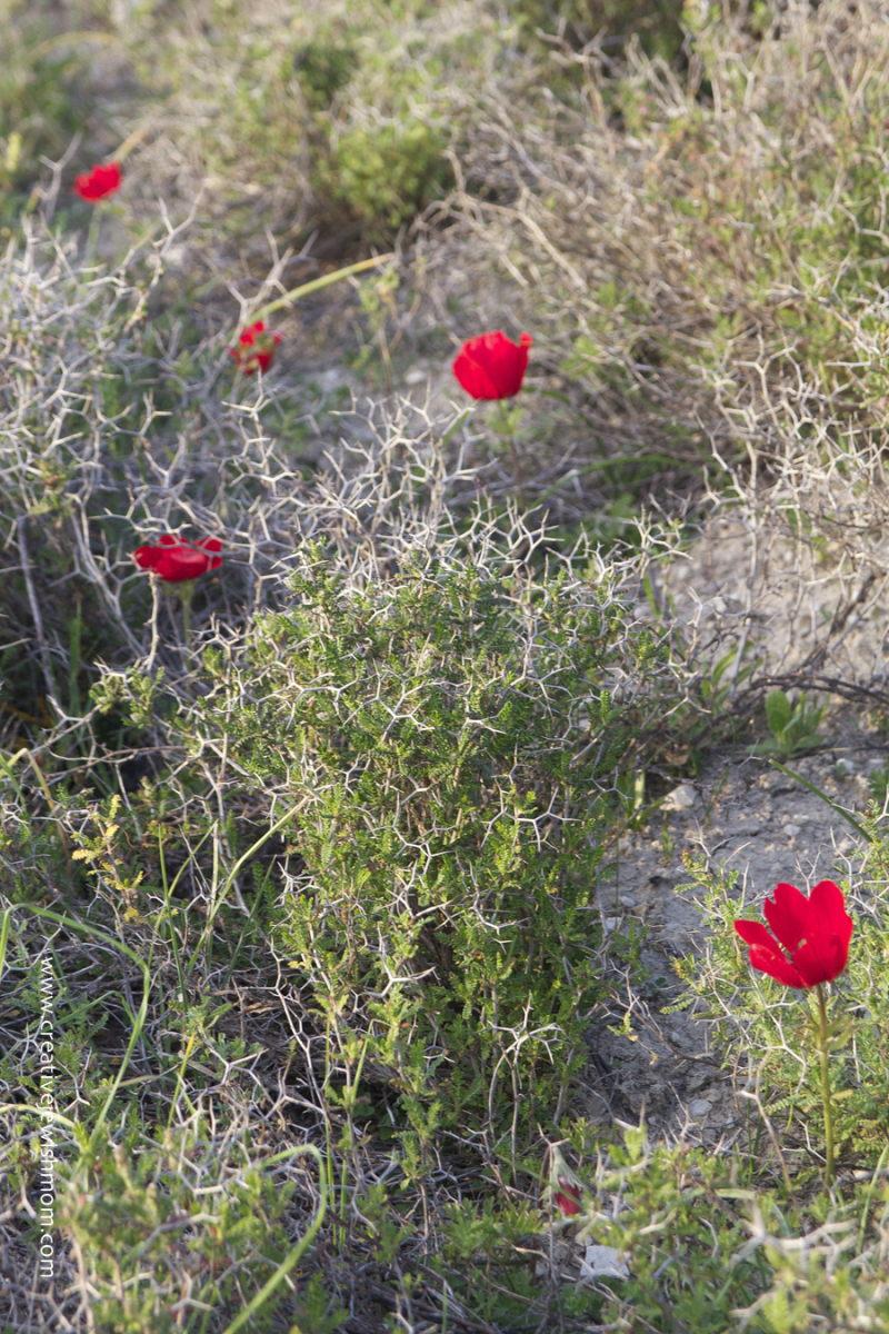Red Poppies In bloom in Israel