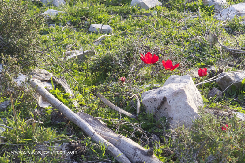Red Poppies In the field in Israel