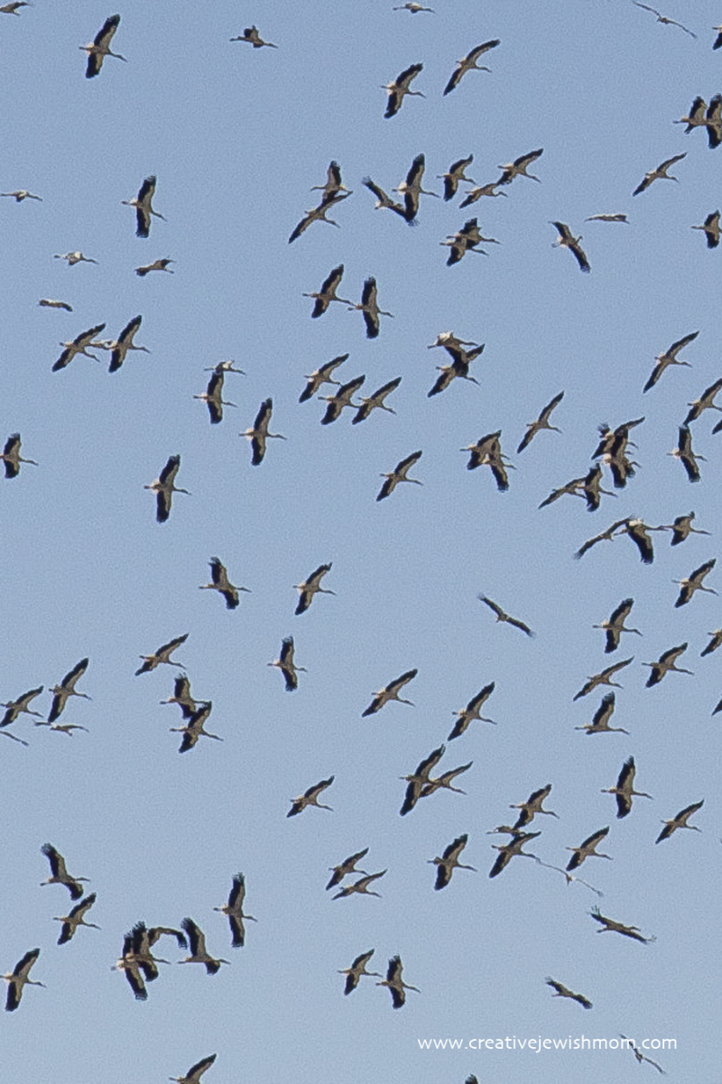 Migrating cranes close up over Israel 2017