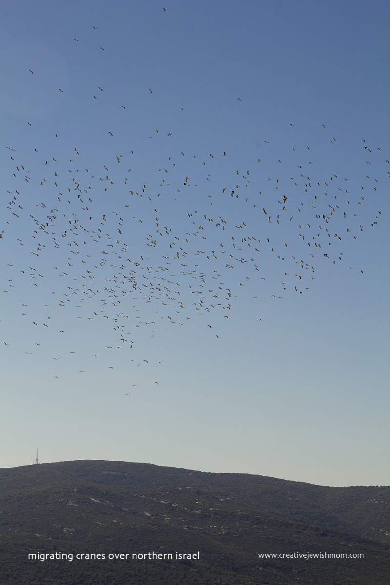 Migrating Cranes spring 2017
