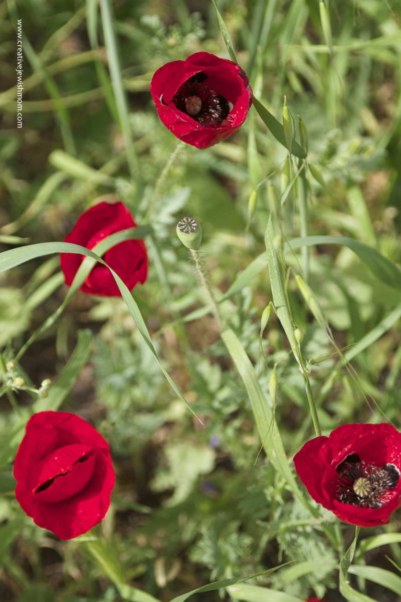 Red Poppies In A Field Northern Israel 2017