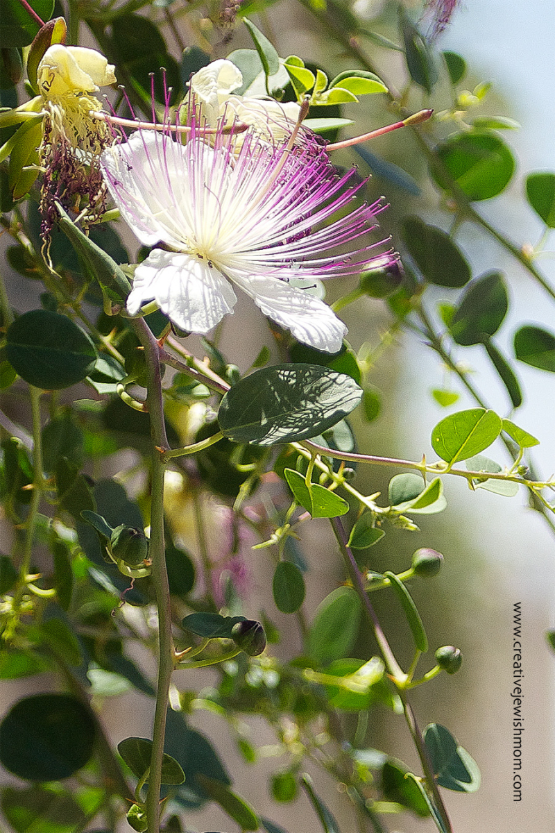Thorny Caper Flower with capers