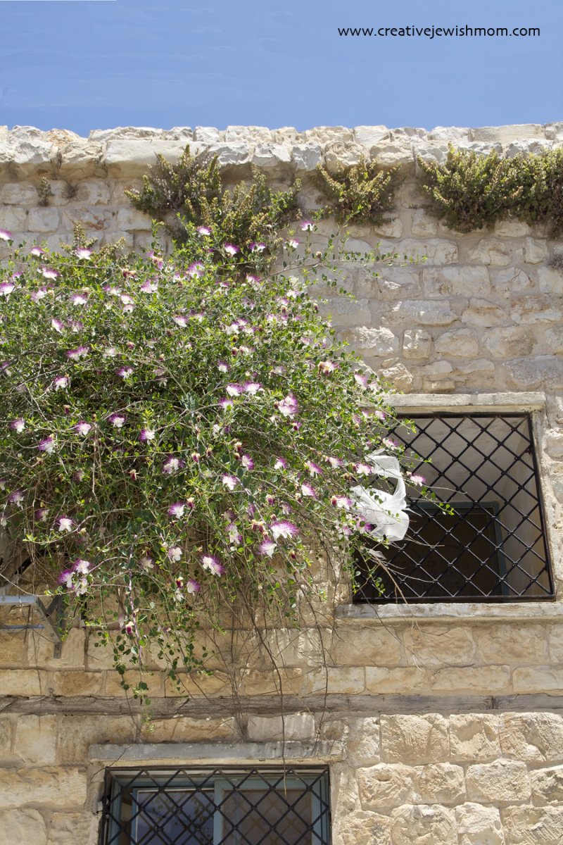 Thorny Caper Growing From Old Building Safed  Israel
