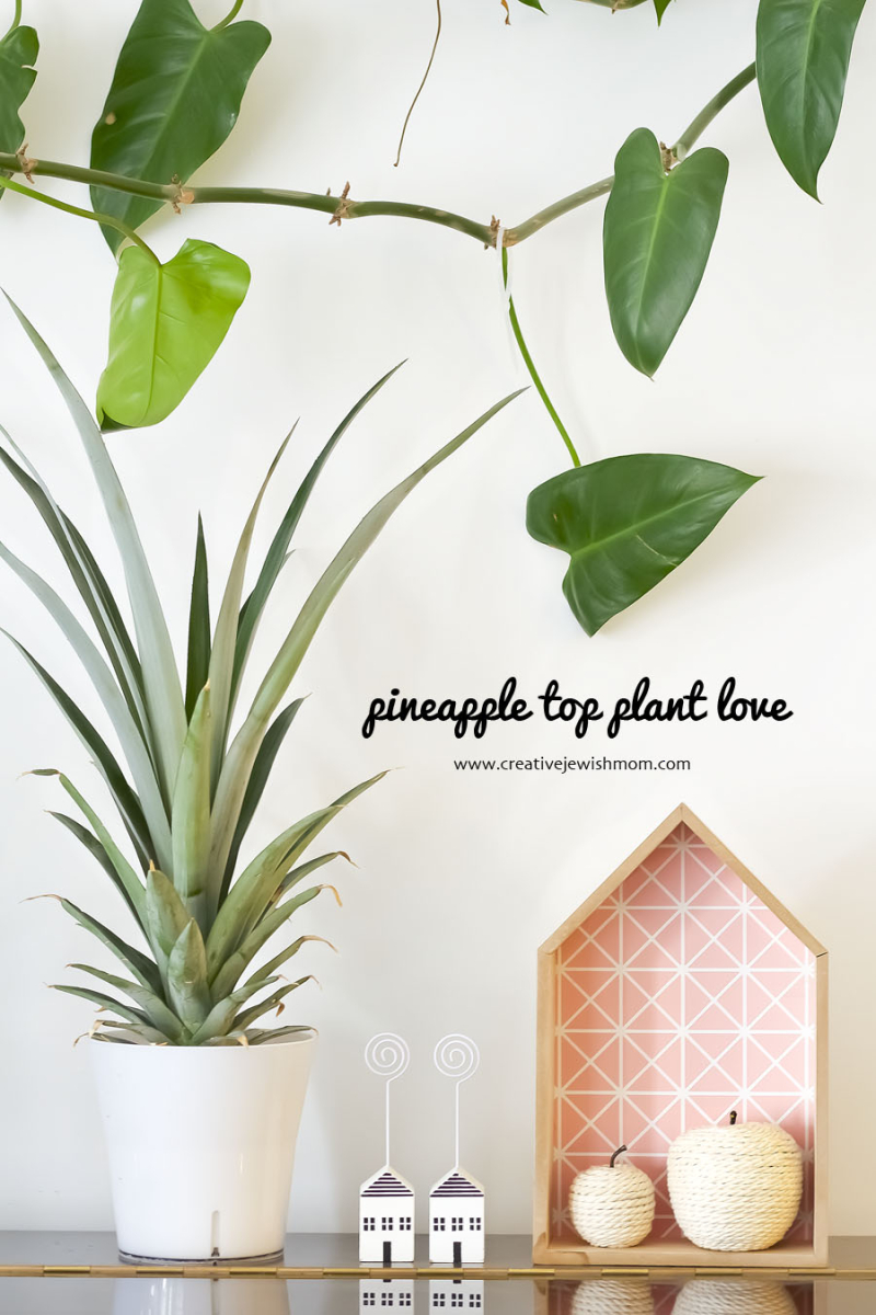 Pineapple Plant DIY From Pineapple Top