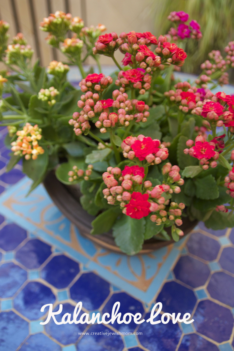 Container Gardening Kalanchoe In Winter