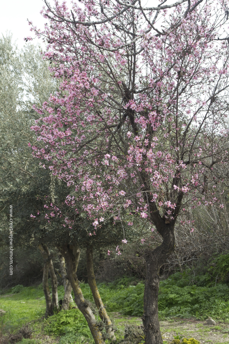 Almond Tree In Bloom with pink blossoms
