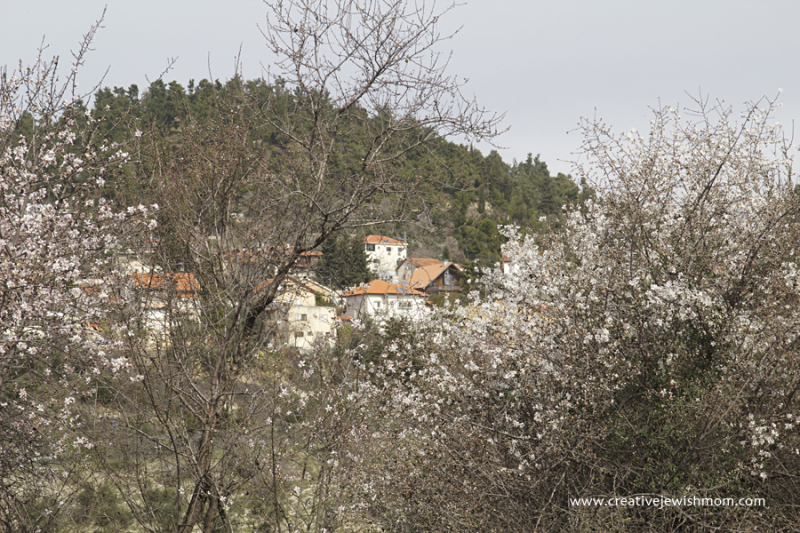 Almond Trees In Bloom With Birya Forest