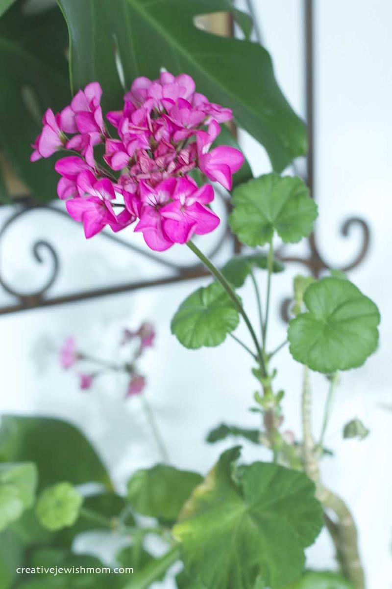 Hydrangea Cuttings Bloom in Water