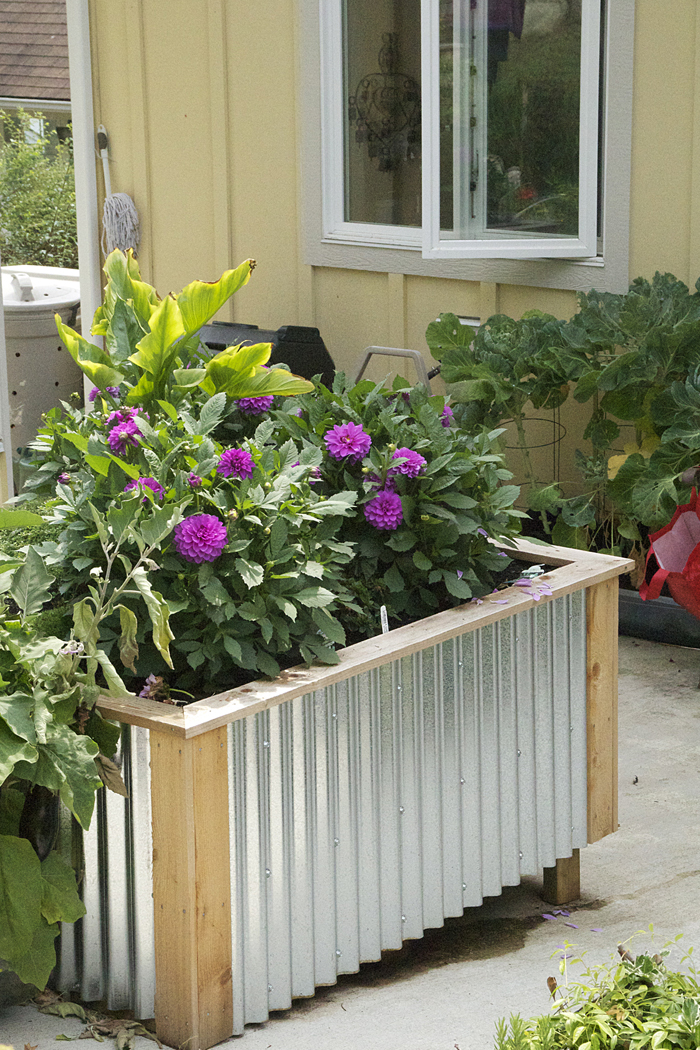 Raised Garden Beds With Corrugated Metal Siding On The Sunshine