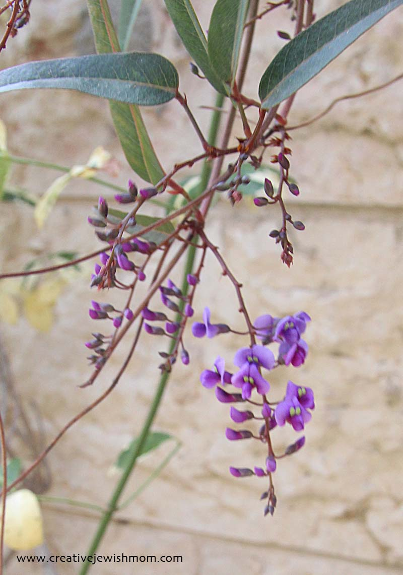Hardenbergia In bloom with buds